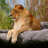 Female Lion. Resting Stock Photo
