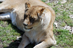 Female Lion. Snoozing lion laying in the sun at the Minnesota Zoo Royalty Free Stock Photography