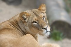 Female lion royalty free stock images