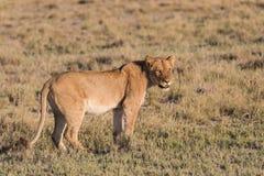 Female Lion alone. Single Female Lion (Panthera leo) standing in early morning light, Etosha National Park, Namibia stock photo