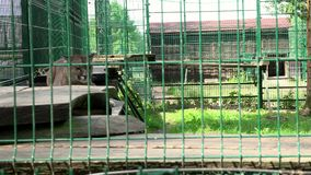 Female lion animal lying on boards in zoo cage. stock video