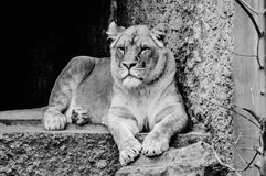 Female Lion At The Artis Zoo Amsterdam The Netherlands In Black And White. Female Lion At The Artis Zoo Amsterdam The Netherlands 2018 In Black And White royalty free stock image