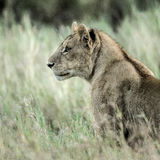Female lion attentive in the grass in Serengeti Royalty Free Stock Photography
