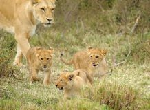 Female lion and baby, MASAI MARA Stock Photos
