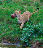 Female Lion with Ball Stock Images