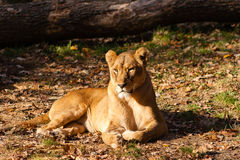 Female lion Stock Images
