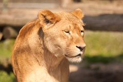 Female lion Stock Image