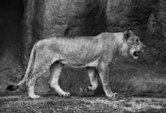 Female Lion in Black and White Stock Photography
