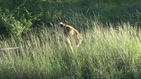 Female Lion in the bush grass stock footage