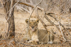 Female lion in the bush, looking front, in Kruger Park, South Africa Stock Images