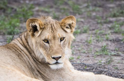 Female Lion in the Bush in Northern Tanzania Royalty Free Stock Photography
