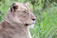 Female Lion in the bush Stock Photos