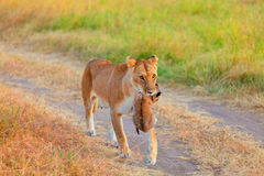 Female lion carrying a cup, Masai Mara Royalty Free Stock Photography