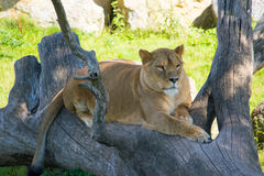 Female Lion. Chilling lion in the shadow on a hot day royalty free stock photos