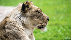 Female Lion close up Stock Images