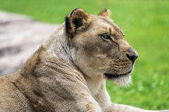 Female Lion close up Royalty Free Stock Images