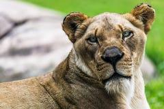 Female Lion close up Stock Photos
