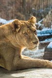 Female Lion Closeup of Face Stock Photos