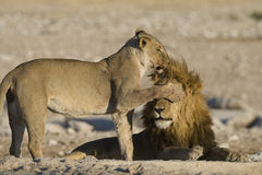 Female lion covering the eyes of male lion w Royalty Free Stock Photography