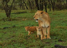 Female Lion With Cubs. Lioness gazing and protecting her young cubs Stock Photos