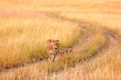 Female lion with cubs in Masai Mara Royalty Free Stock Image