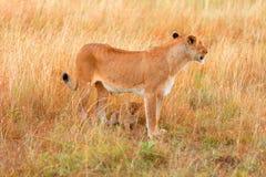 Female lion with cubs in Masai Mara Stock Photos