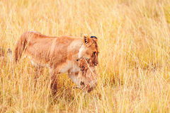 Female lion with cubs in Masai Mara Royalty Free Stock Images