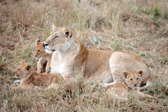 Female Lion and cubs in Masai Mara Kenya Stock Images