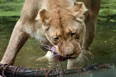 Female lion eating Royalty Free Stock Images