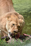 Female lion eating Stock Images