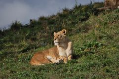 Female lion enjoying the sun before the rain comes stock photography