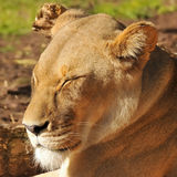 Female lion is enjoying the Sunshine Stock Images