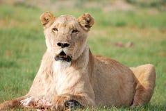 Female Lion Feeding. Image of a lioness feeding on a leg of an animal Stock Photo