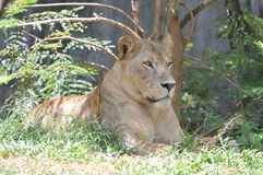 Female Lion. A Female Lion in the forest Stock Image