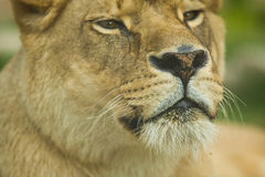 Female lion head Royalty Free Stock Photos