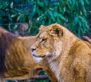 Female lion with her face in closeup, popular animal from the savanna of africa, threatened animal species. A Female lion with her face in closeup, popular stock photo