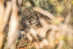 Female Lion hiding in the bush. Stock Photos