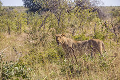 Female lion hiding in the bush, Kruger park Stock Images