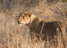 Female lion hunting Stock Images