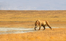 Female Lion Hunting in Grasslands of Ngorongoro. Female Lion Walking and getting ready for hunt in dry Grasslands of Ngorongoro crater near Serengeti National Stock Images