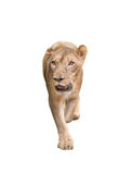 Female lion isolated Royalty Free Stock Photos