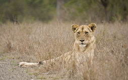 Female lion in Kruger national park , South Africa Stock Images