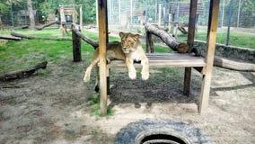 Female lion Royalty Free Stock Photos