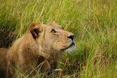 Female Lion laying grass and looking up in Botswana Africa stock photo