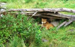 Female Lion laying-stock photos Stock Photos