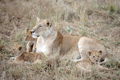 Female Lion and lion cub Stock Image