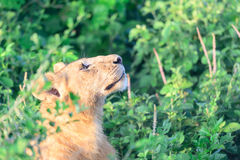 Female lion or lioness Panthera leo Royalty Free Stock Photography