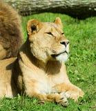 Female Lion at Longleat Wildlife Park Stock Photo