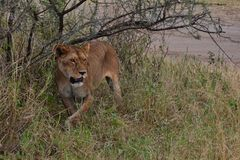 Female lion looking fierce in the Serengeti stock photography