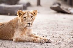 Female lion lying Stock Photos